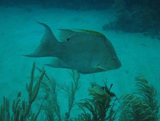 Sea Ventures Dive Center: Hogfish