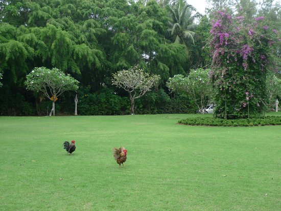 Thavorn Palm Beach Resort: South East Asia fresh green with handsome roosters