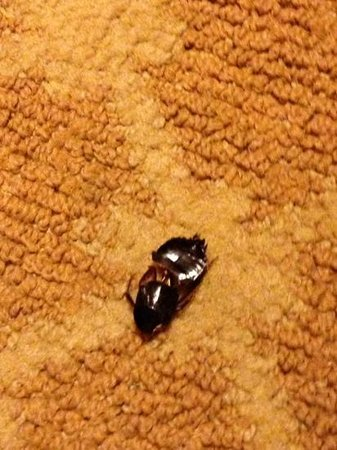 Country Inn & Suites By Carlson, Washington Dulles International Airport : bug we found near bed day 1