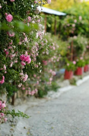 Neemrana's - Ramgarh Bungalows: Flowering fences at homes around Ramgarh Bungalows