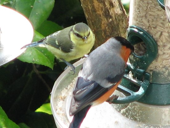 Woodlands Guesthouse: Bullfinch and baby bluetit