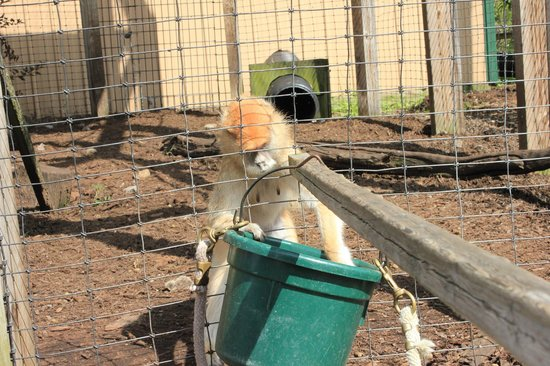 Living Treasures Animal Park: Patas Monkey getting food from the bucket