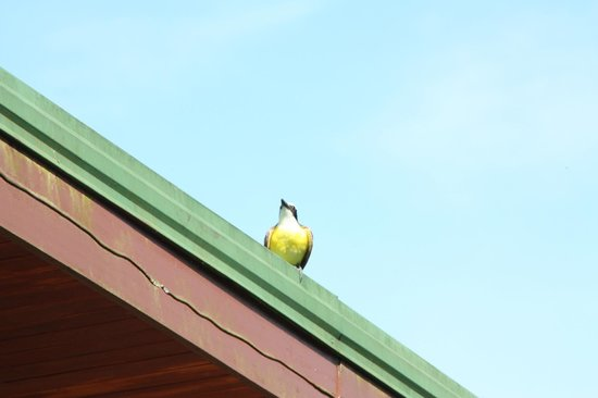 Arenal Observatory Lodge & Spa: best singing bird