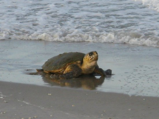 Sea View Resort Motel: Green Turtle