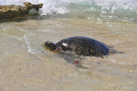 Massimo Sport Hawaii Tours: Turtle Beach
