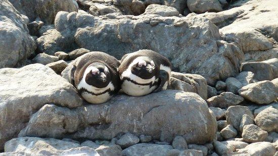 Stony Point Penguin Colony: Penguins sunbathing