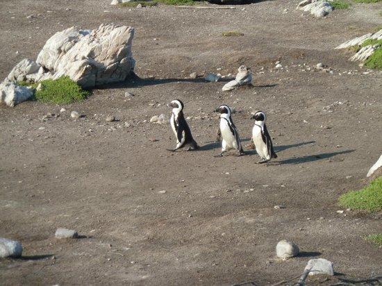 Stony Point Penguin Colony: On the way to the sea