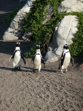 Stony Point Penguin Colony: Fiends catching up