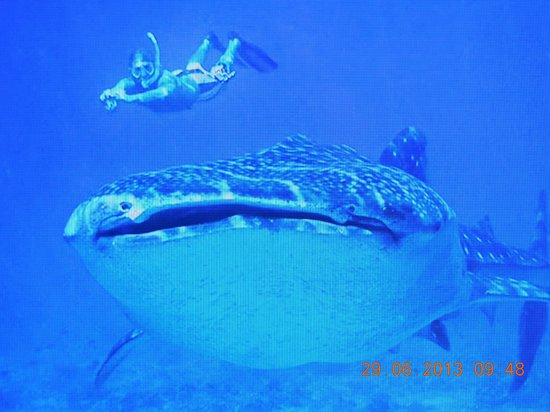 Vilamendhoo Island Resort & Spa: Whale Shark a must
