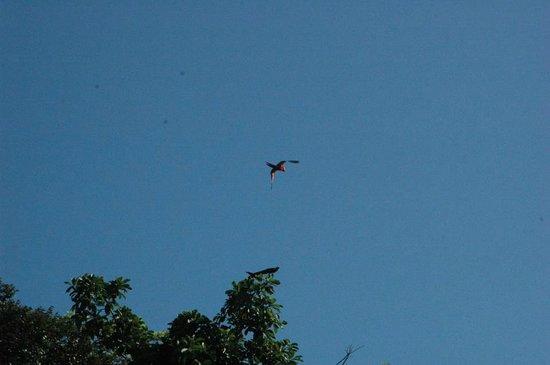Hotel Rancho Corcovado: macaw flying in corcovado