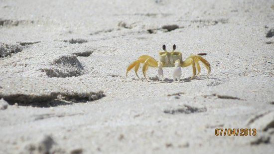 Oceanique Resort: Ghost crab near our beach chairs one day