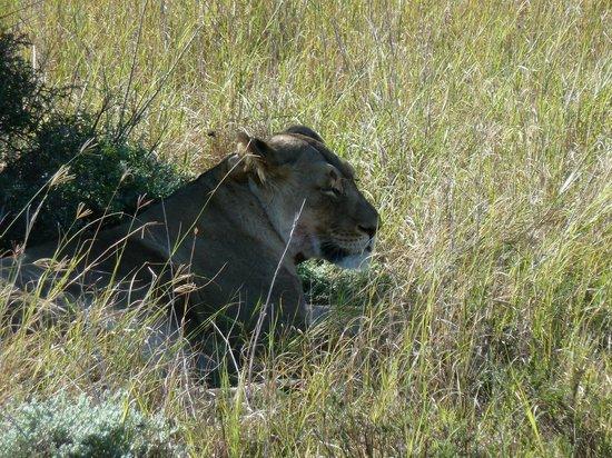 Gorah Elephant Camp: Lioness