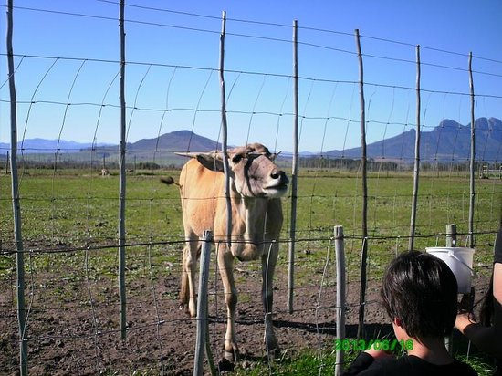 Giraffe House Wildlife Awareness Centre: Largest antelope - the Eland