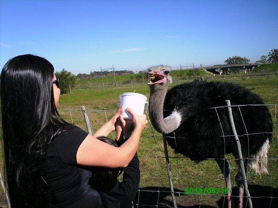 Giraffe House Wildlife Awareness Centre: Feeding an ostrich