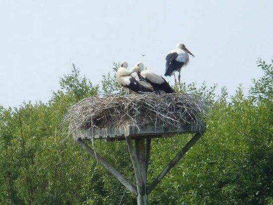 Logis Auberge de la Dune : Stork family in wetlands park