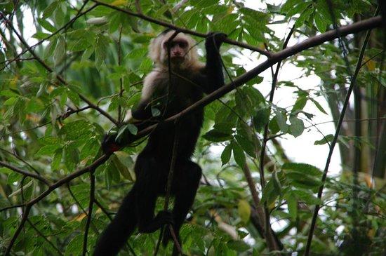 Tulemar Resort: Capuchin Monkey on Hotel Grounds