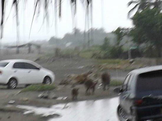 Kohsamui : Praia - família de porcos junto aos carros