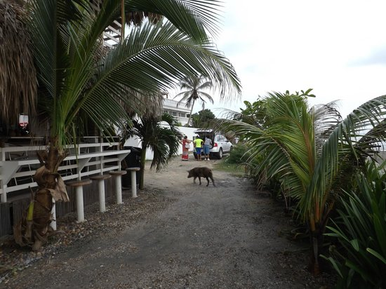 Kohsamui Hotel De Mar : porcos visitantes