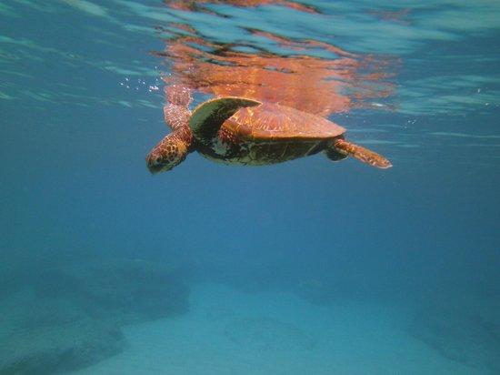 Hawaiian Princess Resort: Several Turtles swim just off the beach