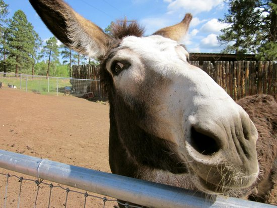 Majestic Dude Ranch: Annabelle the donkey