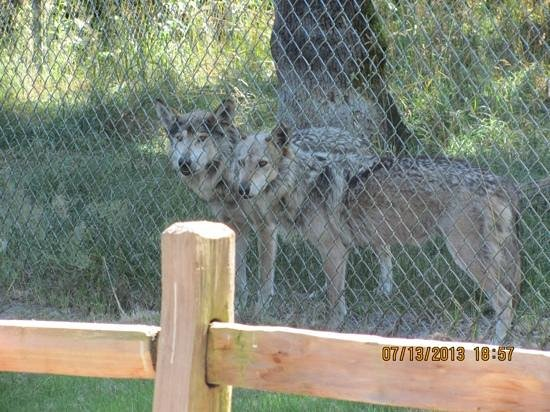 Wolf Haven International: Noel & Lorenzo