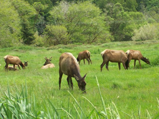 Historic Requa Inn: Davison Road Elk Herd; 1 hour south of Requa Inn.