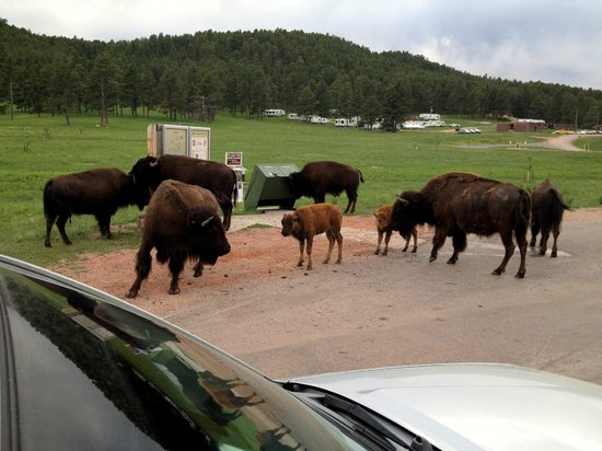 Custer State Park Campgrounds: Bison jam on Wildlife Loop in Custer State Park