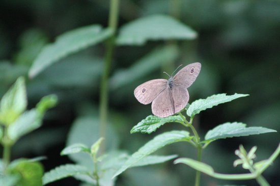 Himalayan Paradise Hotel: Butter Fly
