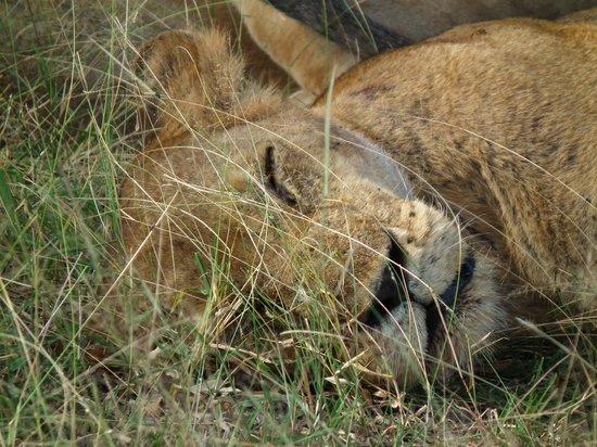 Tarangire Safari Lodge: Lazy lion near the lodge
