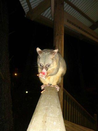 Federation Gardens & Possums Hideaway : Greedy possum