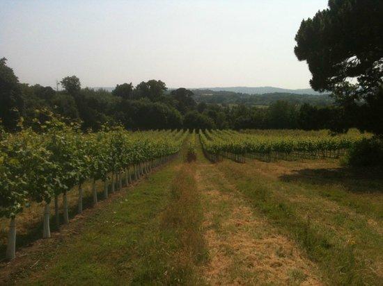 Stopham Vineyard: Stopham Estate vineyard 1
