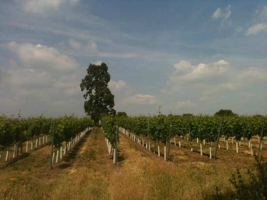 Stopham Vineyard: Stopham Estate vineyard 2