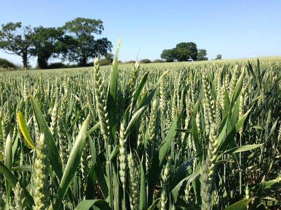 Crocky Trail: Beautiful field of wheat