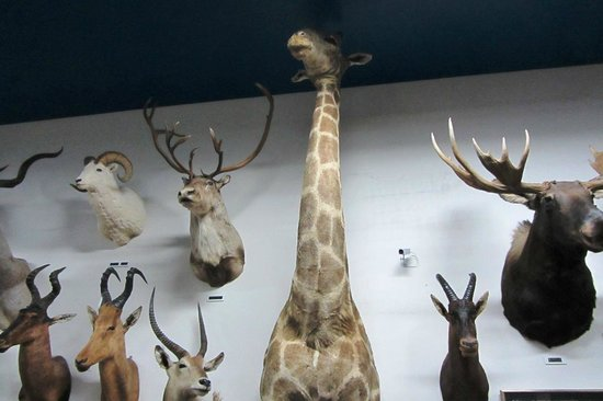 Carr's One of a Kind in the World Museum: 17 foot giraffe complete with front legs