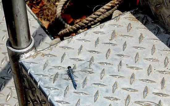 LeBlanc Swamp Tours: Blue Dragon Fly
