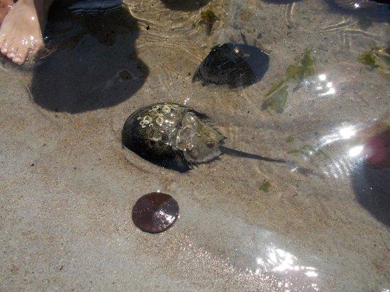 Crane Beach: Sea life: horshoecrab, sand dollar, crab.
