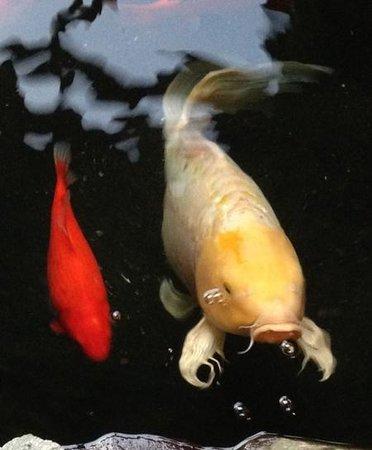 Via Emilia : Koi swim by for Dinner !