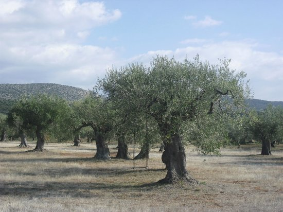 Eumelia Organic Agrotourism Farm & Guesthouse: the olive grove