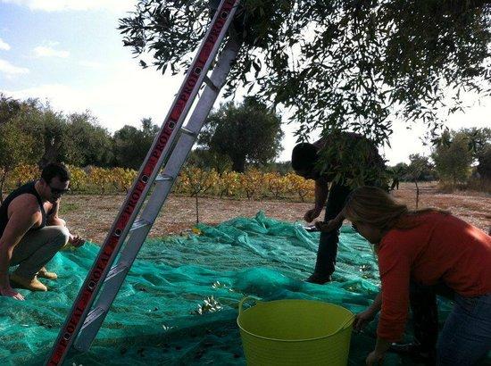 Eumelia Organic Agrotourism Farm & Guesthouse: Olive harvest