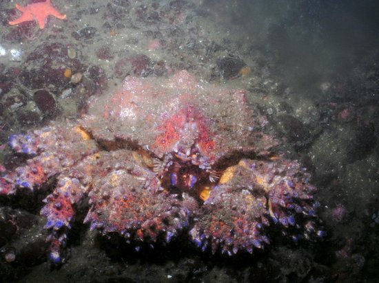 Hornby Island Diving Lodge: King Crab