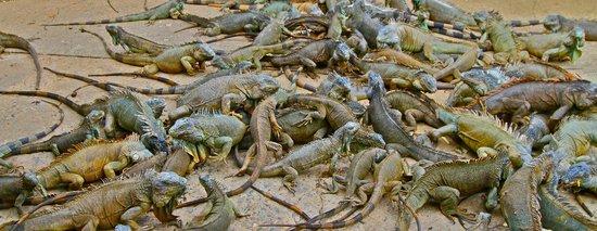 Mayoka Boutique Hotel: Iguanas!