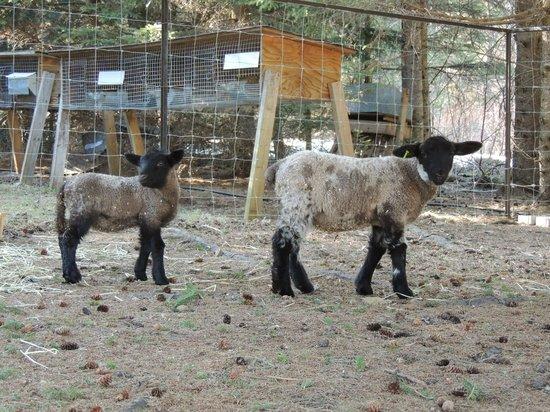 Bed and Breakfast Du Repos: 2 moutons dans la cour :)