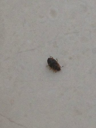 Comfort Suites: Bed Bug