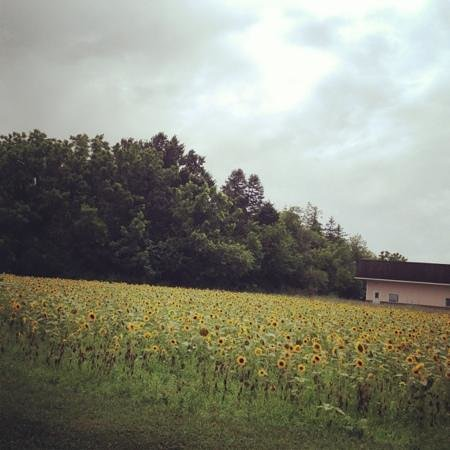 New York, NY: sunflower field on Long Island