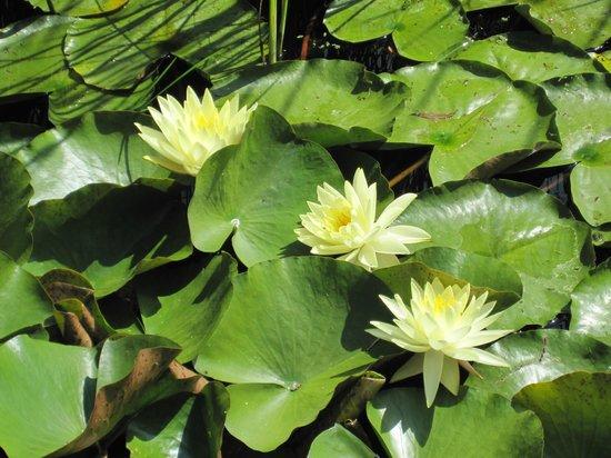 Bennetts Water Gardens: Lillies