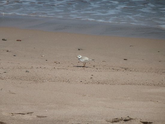Eagle North Kayak: Piping plover on the beach (but zoom lens not on the camera)