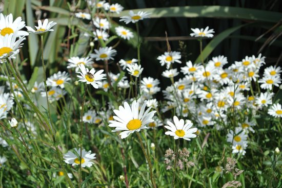 The Cottages: Daisies