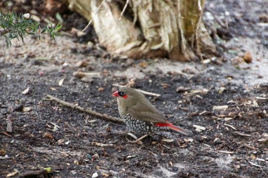 The Grange on Shadforth: Red-Eared Firetail