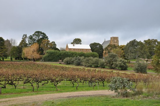 Sevenhill Cellars: One hundred year old vines with the seminary and St Aloysius Church in the background.