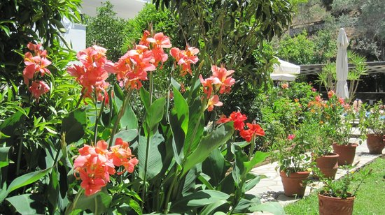Ioannis Apartments: Canna lilies on the path to the pool